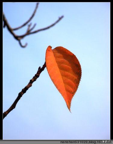 图片有感.红叶.习作.接东篱 - 红叶 - 红叶的网易博客