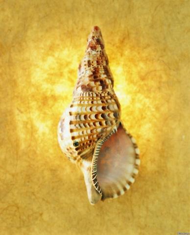 引用 精美贝壳,献给好友(转) - 海之恋 - 海之恋