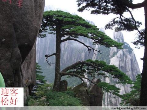 引用 迎客松 - 平安树 - 平安树的博客