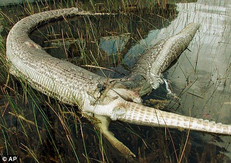 佛罗里达上演蟒蛇吞食鳄鱼大战(组图)_科学探索_科技时代_新浪网 - johnie - johnie在这里学习工作生活!