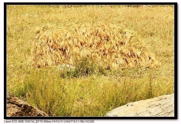 【原创】金秋时节对玉树农业的思索 - 玉树牧羊人 - 玉树牧羊人的博客