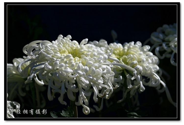 (原创摄影)菊2 - 曾经拥有 - 我的摄影花园