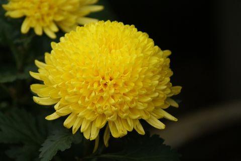 七律   重 阳(原创5) - 黄山松 - 黄山松的博客——