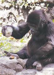 從山頂滾到落山腳的大猩猩...(08.10.29)  (丌_丌) - 網際飛星 - 璀璨星空旖旎花園gegei.com