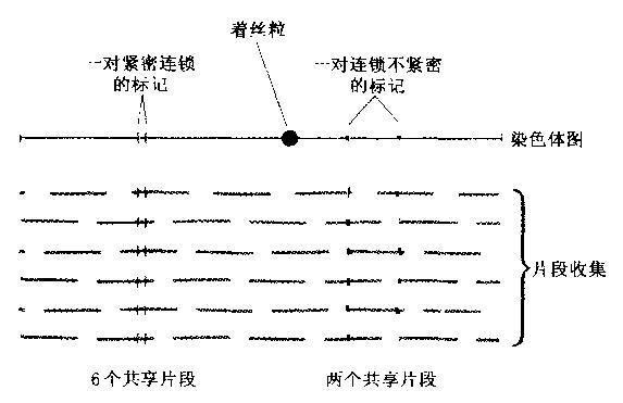 序列标记位点(STS)的定义及作图原理 - 喜欢吃桃子 - wangyufeng的博客