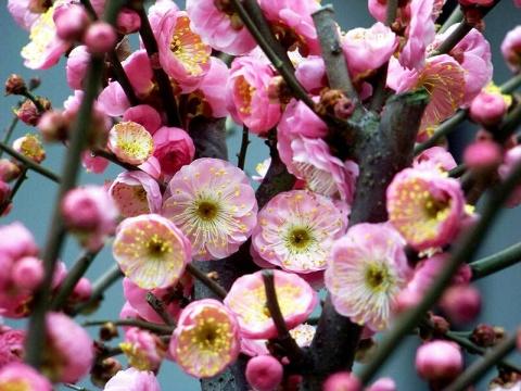二月寻梅 - 清扬 - 花果飘香