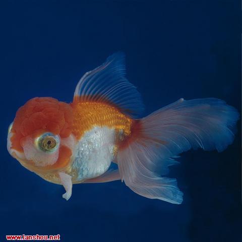 """这种类型金鱼的眼睛和传说中""""龙""""的眼睛相似"""