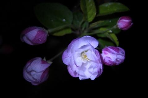 鹧鸪天--海棠花(题图) - 与星对话 - 与星对话