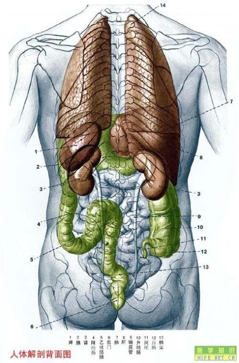 全身骨骼图 七,女性人体解剖图
