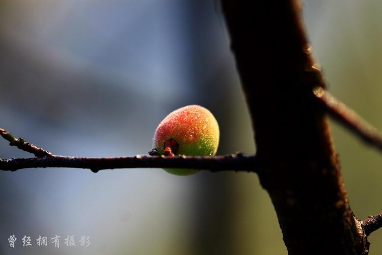(原创摄影)广州萝岗香雪公园---梅果晶莹 - 曾经拥有 - 我的摄影花园