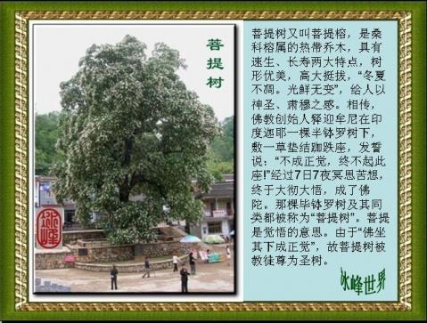 [原创]心中的那棵菩提树  - 冰峰 - 冰峰的博客