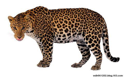 豹子 壁纸 动物 桌面