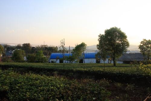 走进云南勐海探千年古茶树 - 庆 - 国