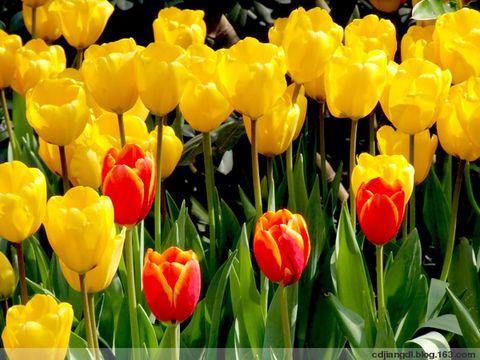成都迎春花会——郁金香  - 西地笺儿 - 健康和摄影-西地笺儿的博客
