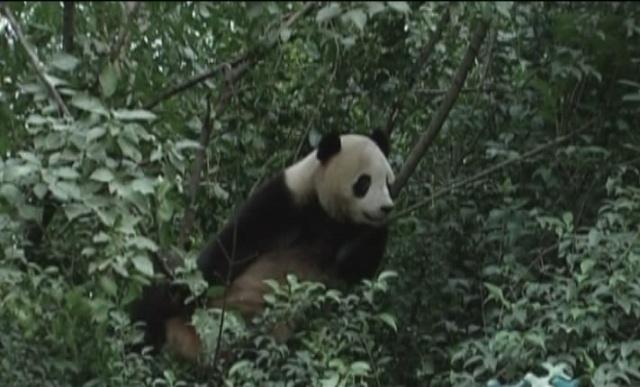 真正的熊猫功夫,看熊猫的武林争霸赛——我的地盘我做主 - 行者 - 《行者》旅游卫视