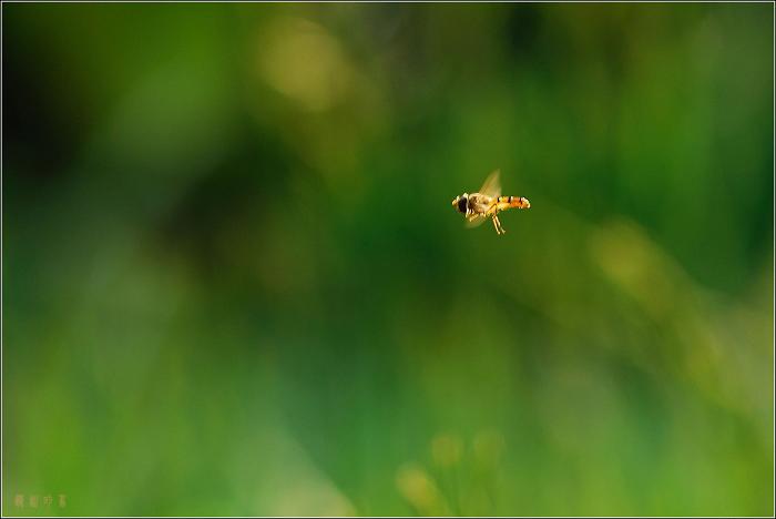 [原创]小区里的食蚜蝇——匆忙 - 迁徙的鸟 - 迁徙鸟儿的湿地