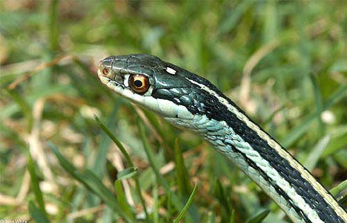 北美西部代蛇