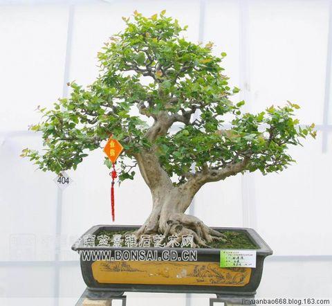 盆景艺术欣赏(16) - 老排长 - 老排长(6660409)
