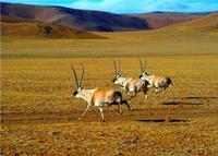 [原摄]青藏高原的藏羚羊(10P) - 加贝先生 - 加贝先生的博客