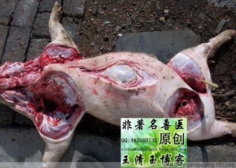 原创解剖图-猪胃穿孔和溃疡70-80斤猪-非著名兽医王清玉 - 非著名兽医王清玉 - 非著名兽医王清玉博客