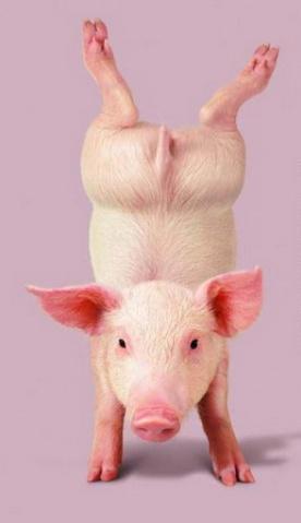 [原创]猪也疯狂 - 王莹 - 王莹的博客