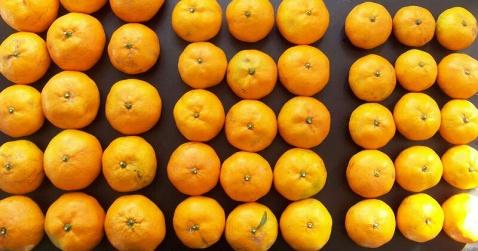 大棚柑橘完成第2次品质取样检测 - 清扬 - 花果飘香