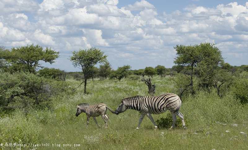 纳米比亚野生动物拍摄散记(四) - 晓月 - 走马观景