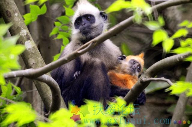 野生大熊猫的生存危机 没有竹子的它们更没有爱情 - 行者 - 《行者》旅游卫视