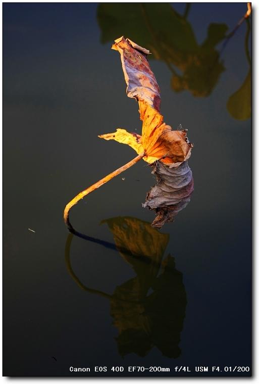 【原创摄影】夕阳残荷别样红  - 王工 - 王工的摄影博客