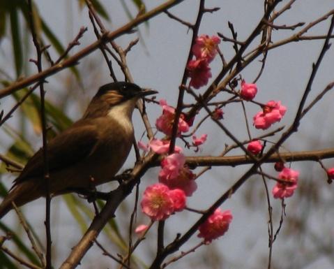 鸟与樱花 - 娄季初 - 娄季初诗词文集