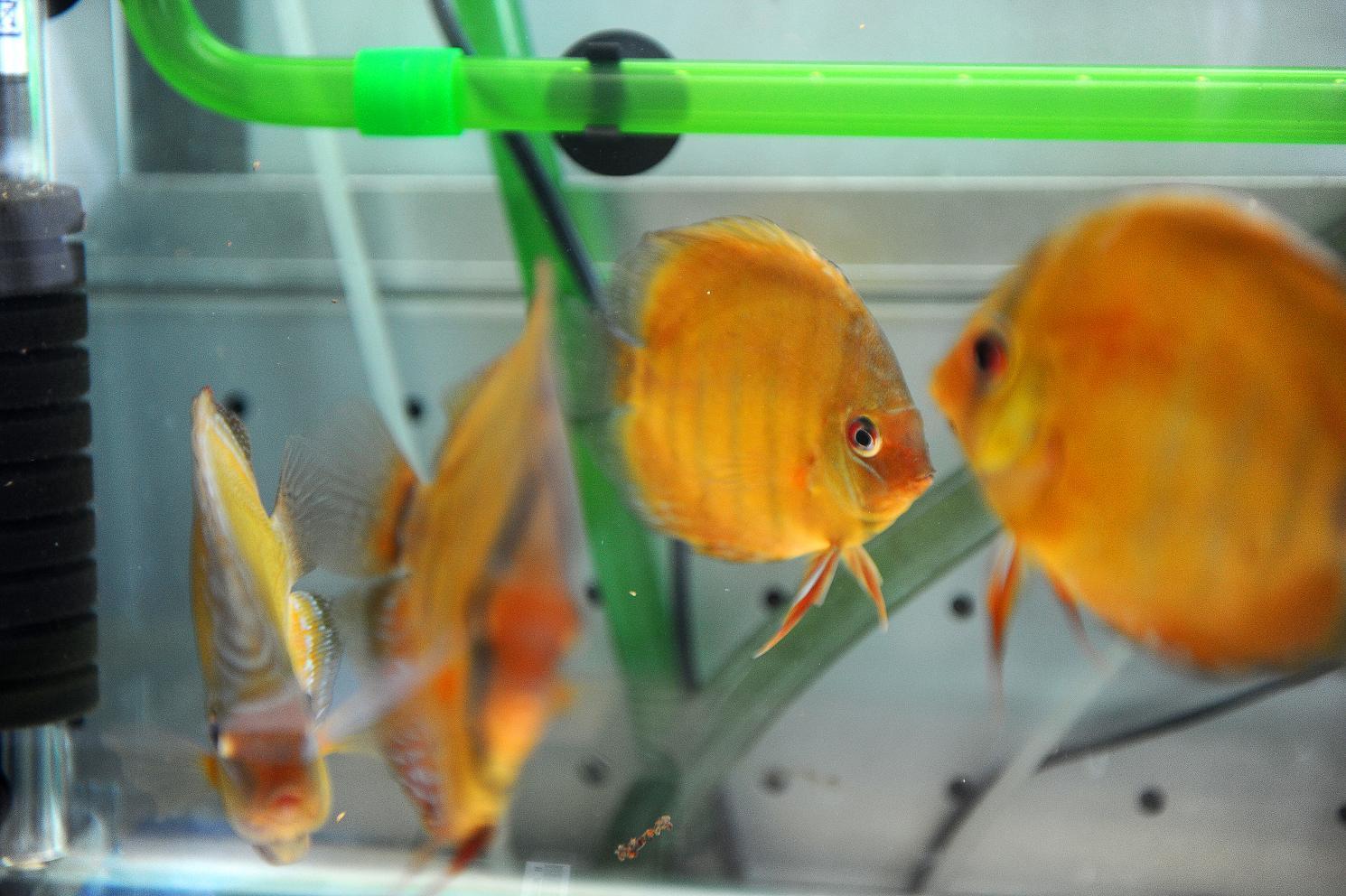 展示下库存野生红彩!!!!!!!!!!(09.12.02) - x-999 - 牧 鱼 水 族