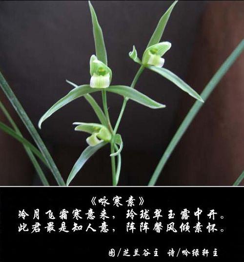 寒兰09——咏寒素 - 吟绿轩主 - 吟绿轩主的博客