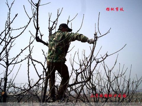 引用 【原创】樱桃生长管理过程(图解) - 圆梦 - 上林大樱桃生产基地欢迎您!