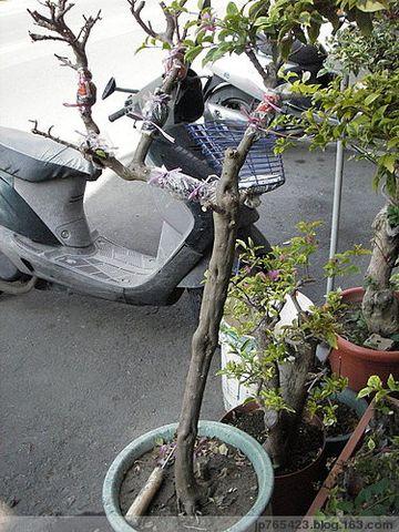王舜锋的三角梅花园 - fdycq - 费家村---老费的家园