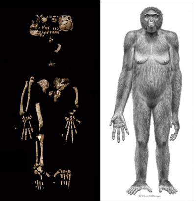科学家成功将埃塞俄比亚发现的零碎原始人化石拼出一副女性原始人骨骼。