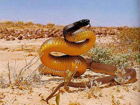 世界最毒的太攀蛇