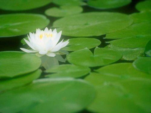 我是你臂弯下的那朵睡莲 - 真水无香  - 香格里拉 花开的地方