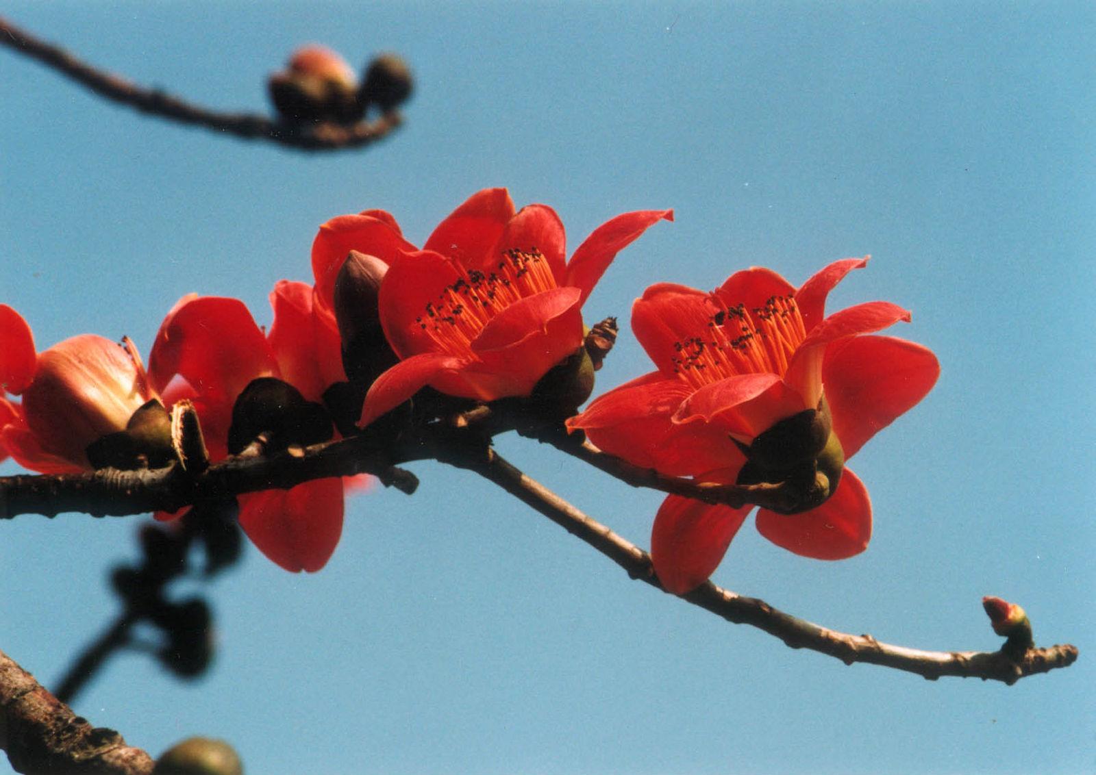 木棉花/和素雅清香 - 一掬茗香 - 一掬茗香的博客
