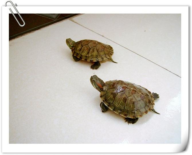 家养两只小龟