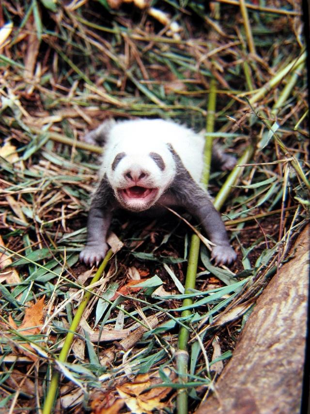可爱的熊猫变身强悍妈妈 只为保护初生宝宝 熊猫究竟是不是一夫一妻制   - 行者 - 《行者》旅游卫视