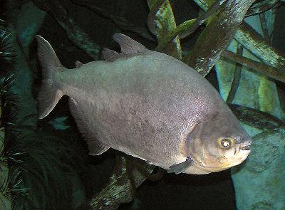 黑银板(colossoma macropomum) - x-999 - 牧 鱼 水 族