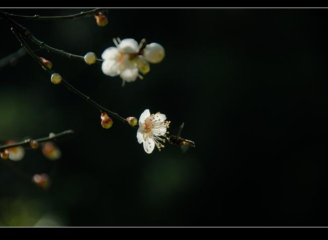 [摄影原创] 白梅 - 木槿 - 木槿花开