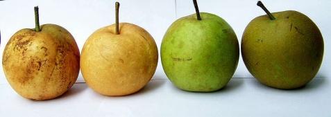传统套袋工艺对砂梨果实品质的影响 - 清扬 - 花果飘香