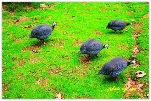 [原创]动物王国(05)珍珠鸡《珍珠乐》 - 自由诗 - 人文历史自然 诗词曲赋杂谈