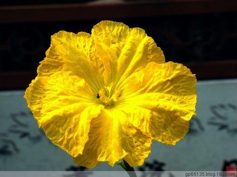 满眼金黄的丝瓜花 - 六月荷花 - 六 月 荷 塘