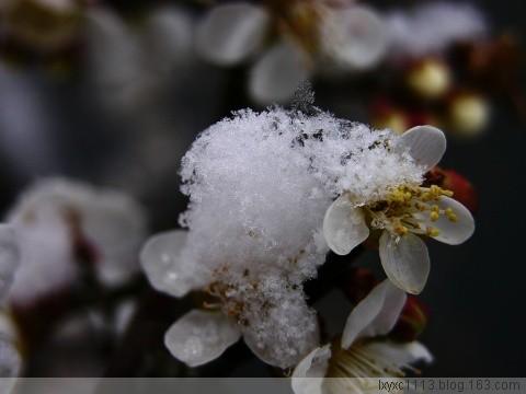 [原创] 白梅 - 雪颜 - 雪颜的博客
