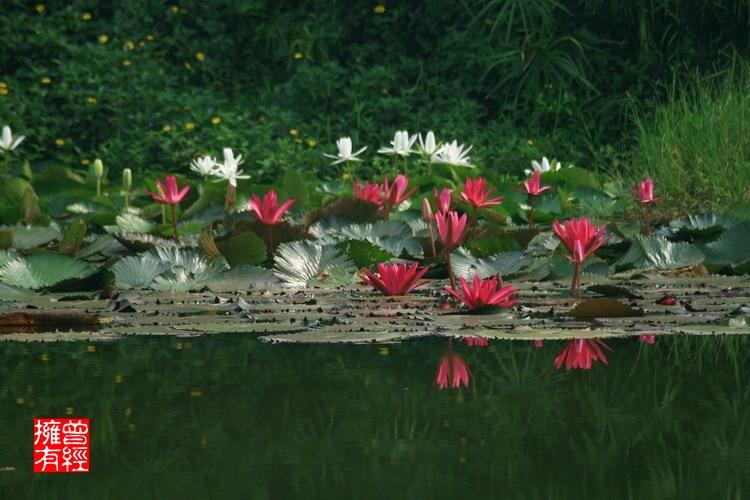(原创摄影)荷趣(10)之睡美人 - 曾经拥有 - 我的摄影花园