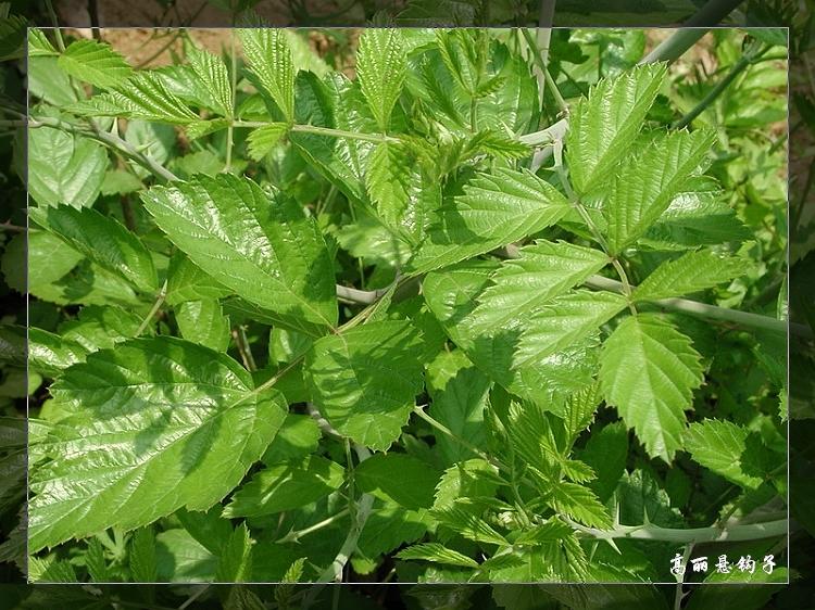 植物精美图谱600种(六) - 香儿 - 香儿