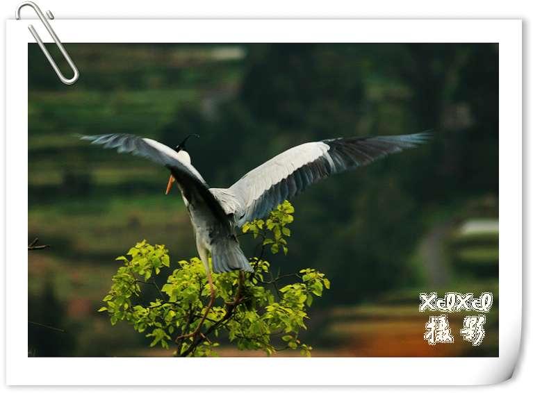 【苍鹭拍摄记】——与鸟儿共享蓝天 - xixi - 老孟(xixi)旅游摄影博客