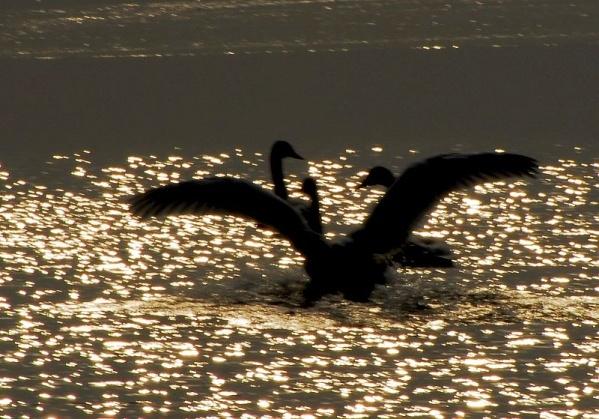 [原创摄影]光影天鹅 - 无忌色影 - 行行摄摄